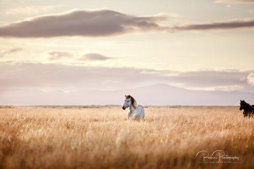 Pferde in Selfoss-1