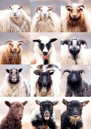 0522_Sheep