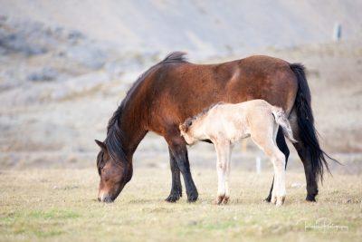 IslandpferdeInIsland-10