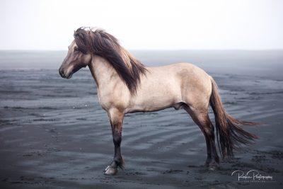 IslandpferdeInIsland-107