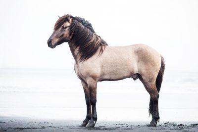 IslandpferdeInIsland-108