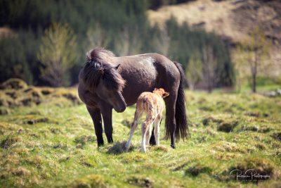 IslandpferdeInIsland-116