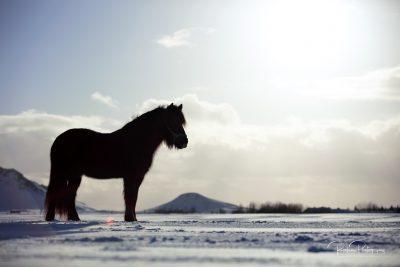 IslandpferdeInIsland-118