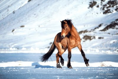 IslandpferdeInIsland-125