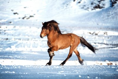 IslandpferdeInIsland-126