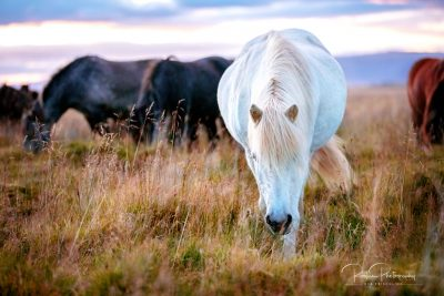 IslandpferdeInIsland-133