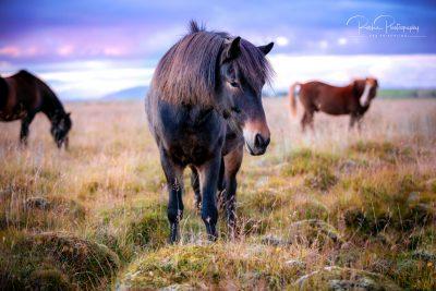 IslandpferdeInIsland-136