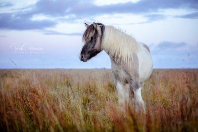 IslandpferdeInIsland-138
