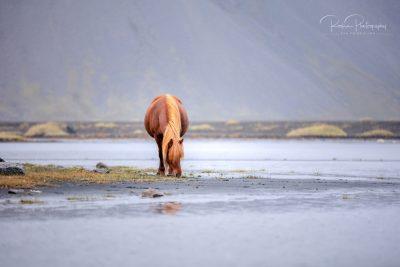 IslandpferdeInIsland-147