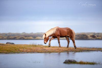 IslandpferdeInIsland-148