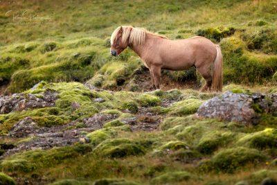 IslandpferdeInIsland-152
