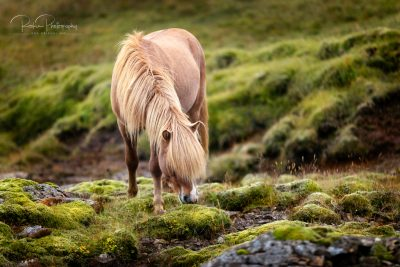 IslandpferdeInIsland-153