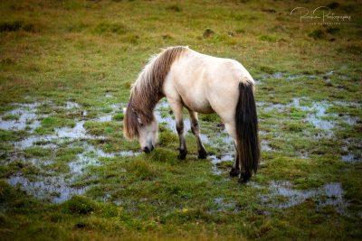 IslandpferdeInIsland-156