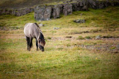 IslandpferdeInIsland-158