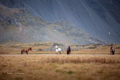 IslandpferdeInIsland-159