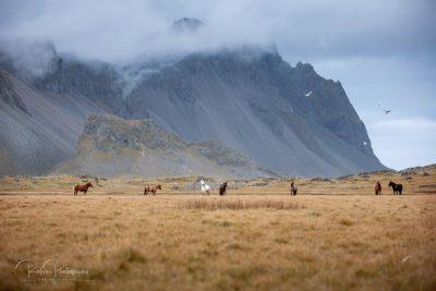 IslandpferdeInIsland-161