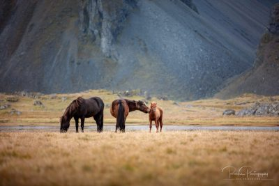 IslandpferdeInIsland-162