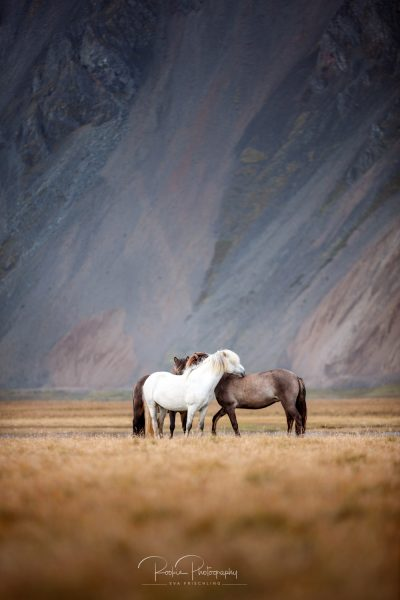 IslandpferdeInIsland-163