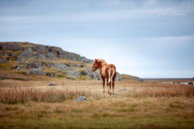 IslandpferdeInIsland-164