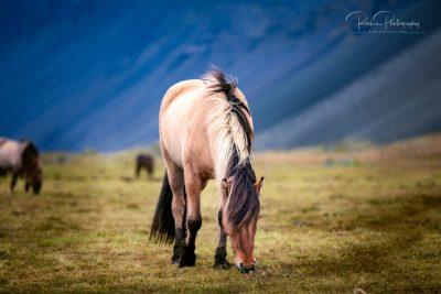 IslandpferdeInIsland-167