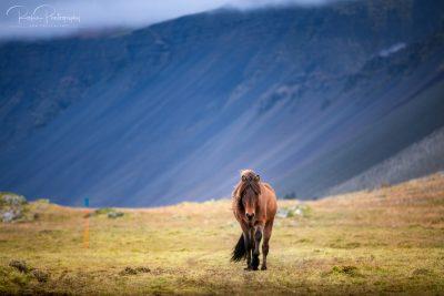 IslandpferdeInIsland-168