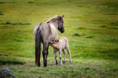 IslandpferdeInIsland-170