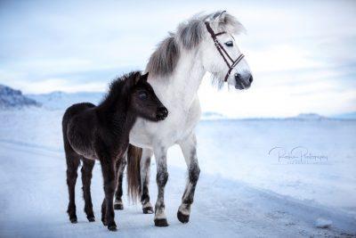 IslandpferdeInIsland-174