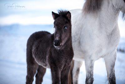 IslandpferdeInIsland-175