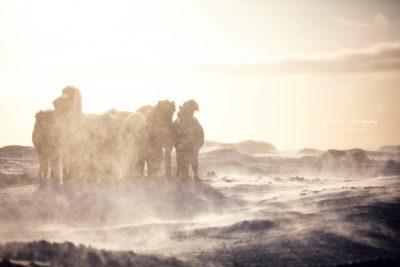 IslandpferdeInIsland-180