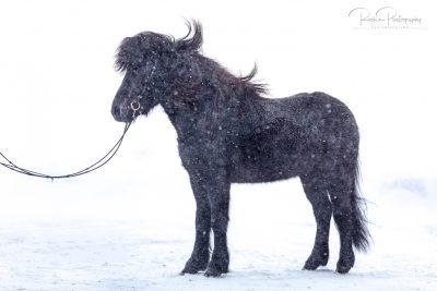 IslandpferdeInIsland-181