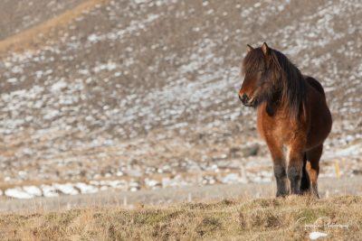IslandpferdeInIsland-24