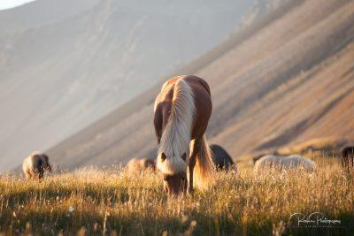 IslandpferdeInIsland-3