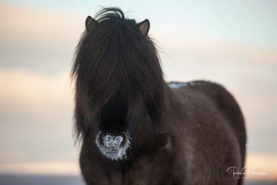 IslandpferdeInIsland-30