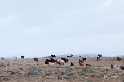 IslandpferdeInIsland-31