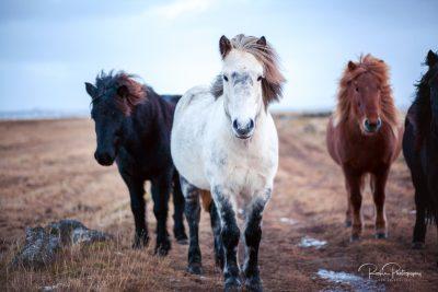 IslandpferdeInIsland-32