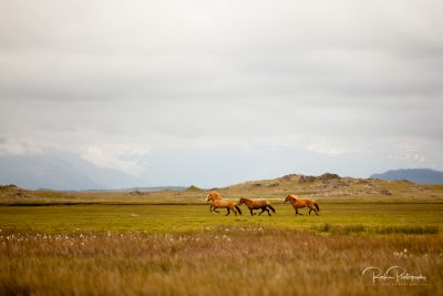 IslandpferdeInIsland-39