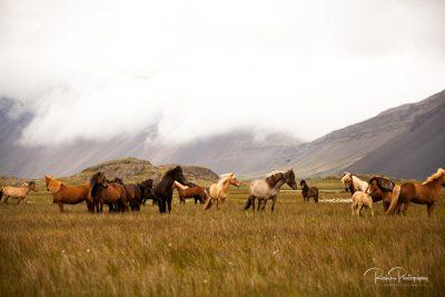 IslandpferdeInIsland-40