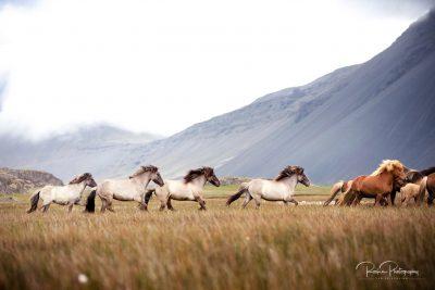 IslandpferdeInIsland-41
