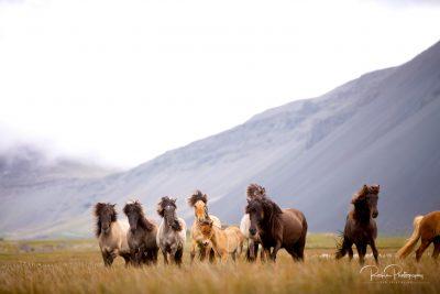 IslandpferdeInIsland-42