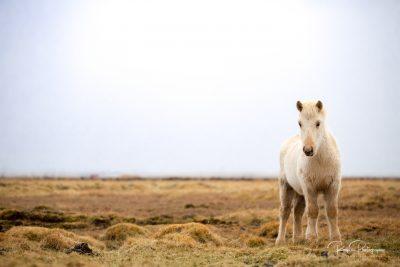 IslandpferdeInIsland-44