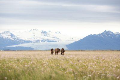 IslandpferdeInIsland-48