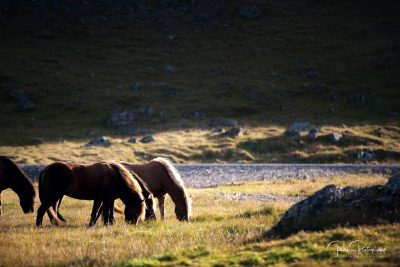 IslandpferdeInIsland-5
