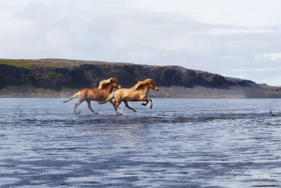 IslandpferdeInIsland-54