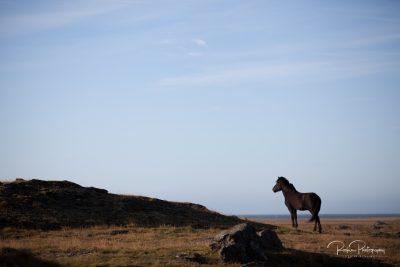 IslandpferdeInIsland-6