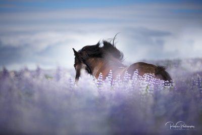 IslandpferdeInIsland-60