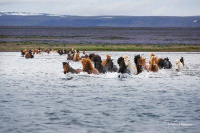 IslandpferdeInIsland-61