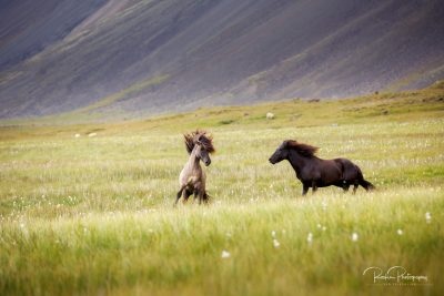 IslandpferdeInIsland-74