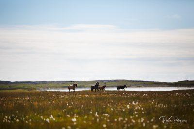 IslandpferdeInIsland-80