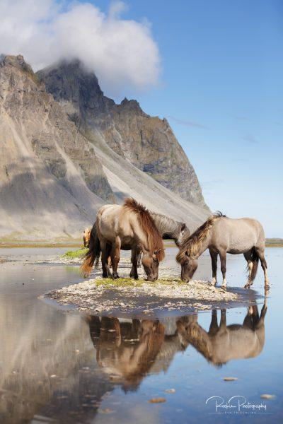 IslandpferdeInIsland-82