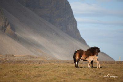 IslandpferdeInIsland-9